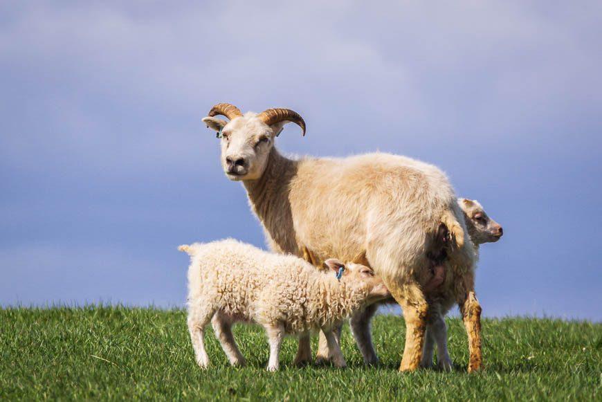 High cuteness factor during lambing season
