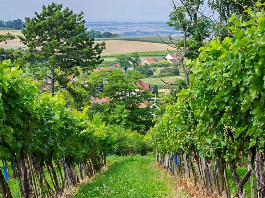 Walking through the vineyards - part of Austria's beautiful Weinviertel region