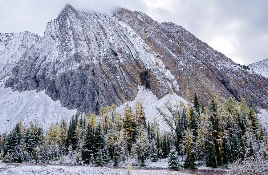 There are stands of larches on the approach in to Chester Lake