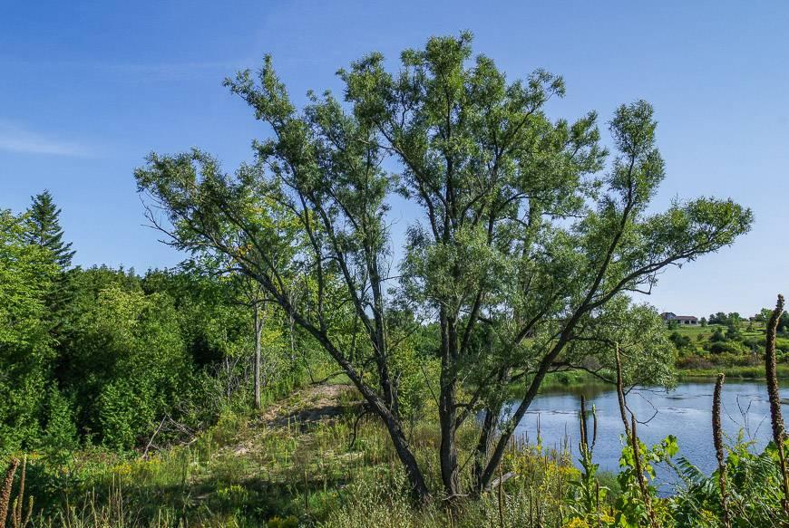 Pine tree loving the sandy soil
