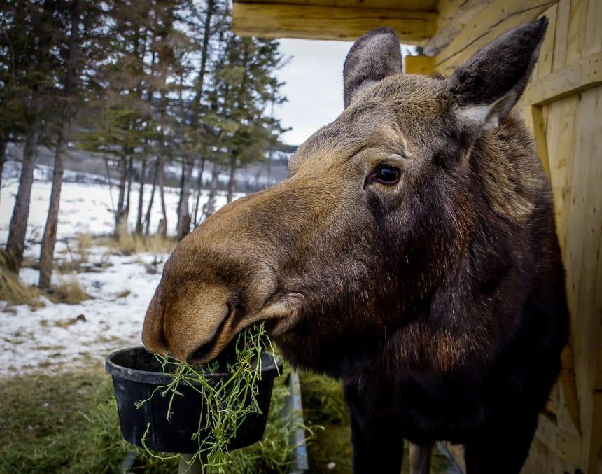 Visiting Jellybean the moose