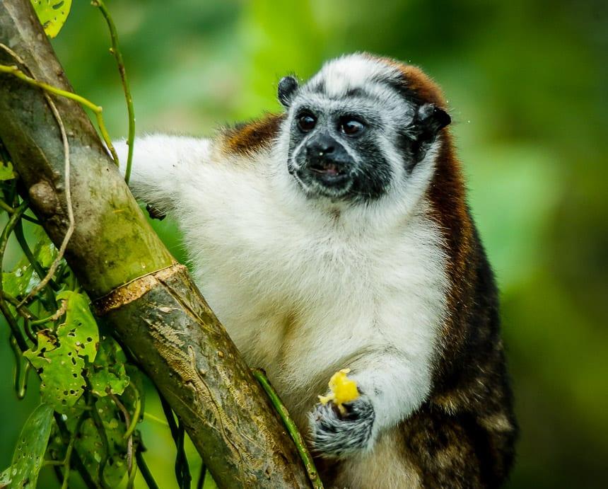 Geoffroy's tamarin monkey
