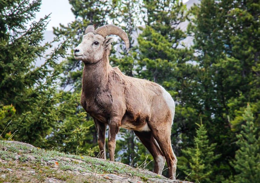 How do You #StandForCanada?Bighorn sheep you see standing regularly near Lake Minnewanka, Banff National Park