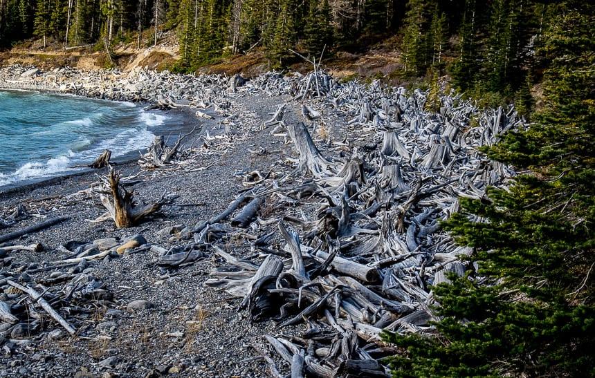 Masses of dead logs along Upper Kananaskis Lake