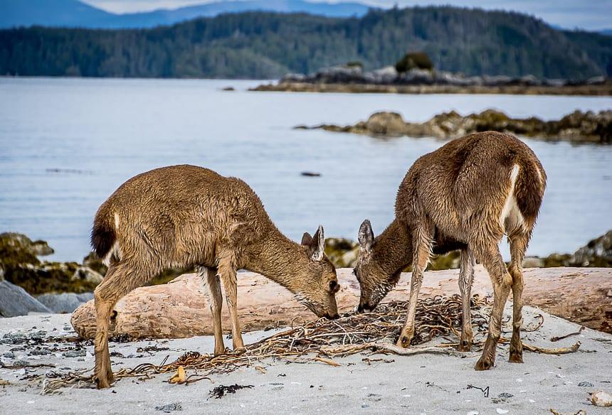 Deer eating kelp on Clark Island, Broken Group, BC