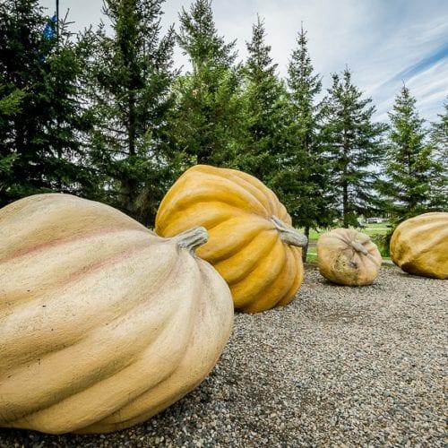 Giant pumpkins in Smoky Lake, Alberta