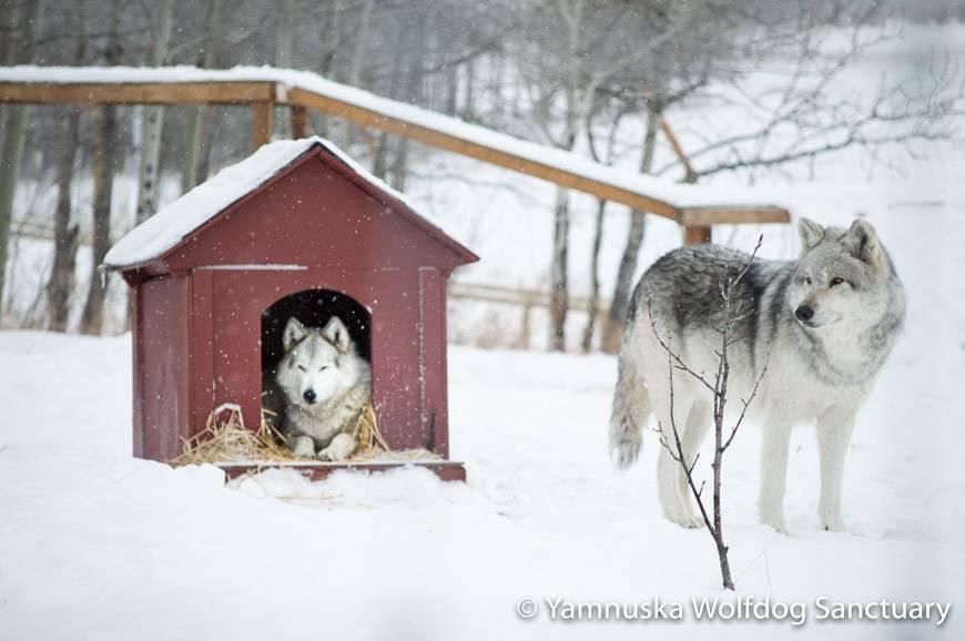 The Yamnuska Wolfdog Sanctuary