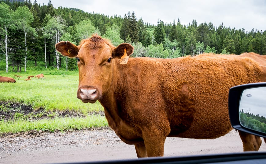 We stopped to let this cow go by on the road in Castle Provincial Park