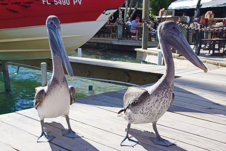 Pelicans hanging around the dock