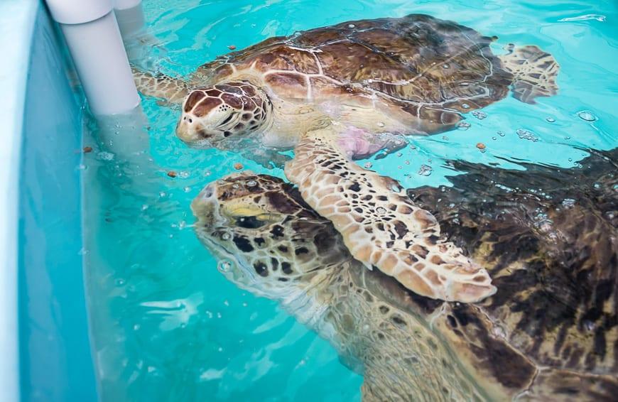 Each sea turtle has quite a distinct personality