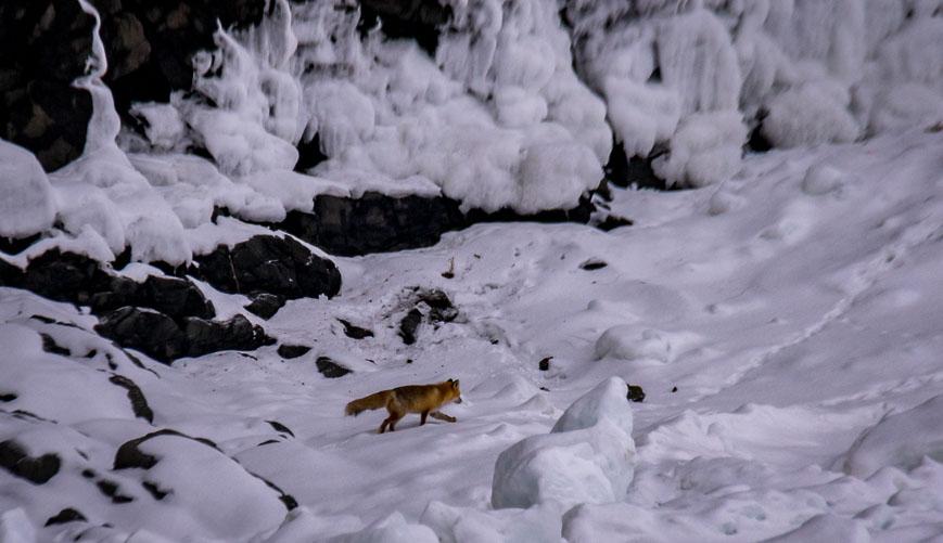 Red fox on the drift ice on the Shiretoko Peninsula