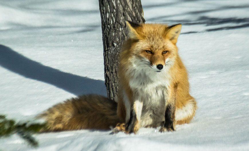 Fox seen snowshoeing in Shiretoko National Park