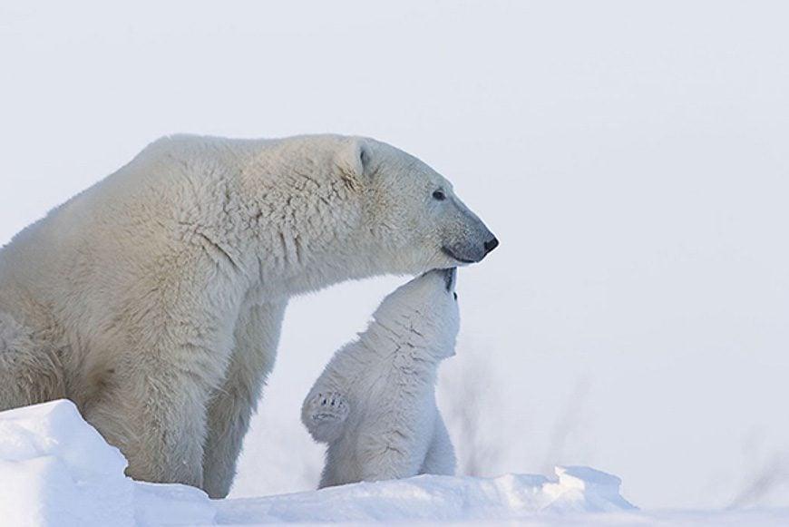 Polar Bears Cape East, Wapusk National Park