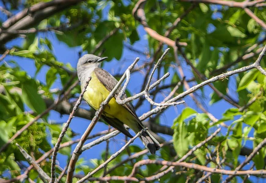 The western kingbird