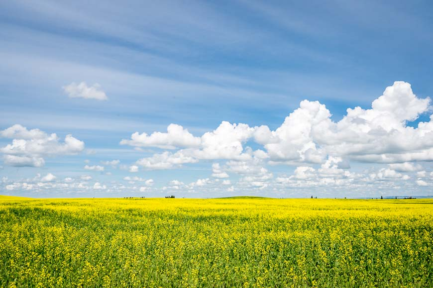 Things to do in Drumheller include photographing the canola fields