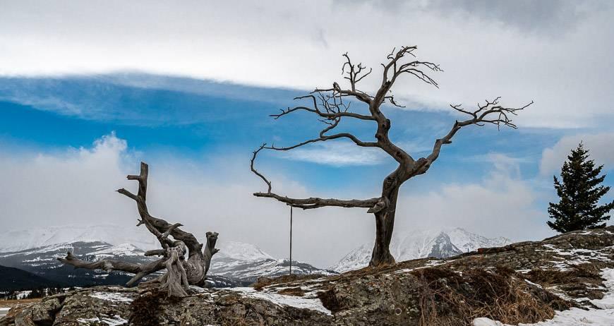 The Burmis tree seen on a winter road trip in Alberta