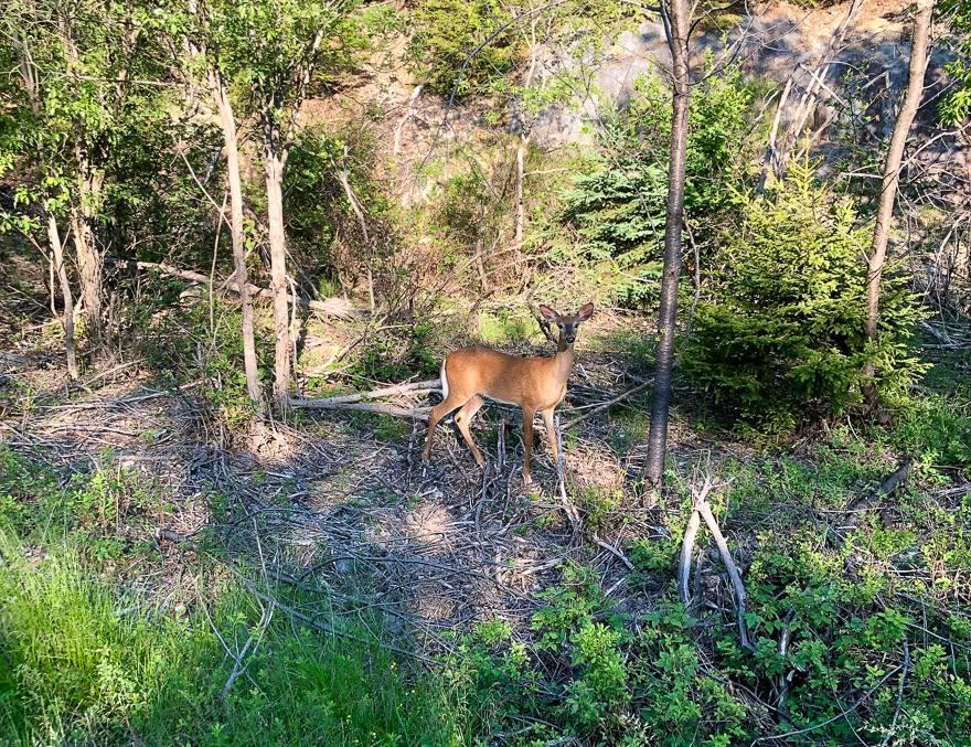 A deer on Deer Island