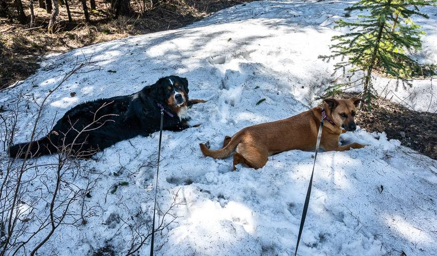 The dogs stop at every single snow patch