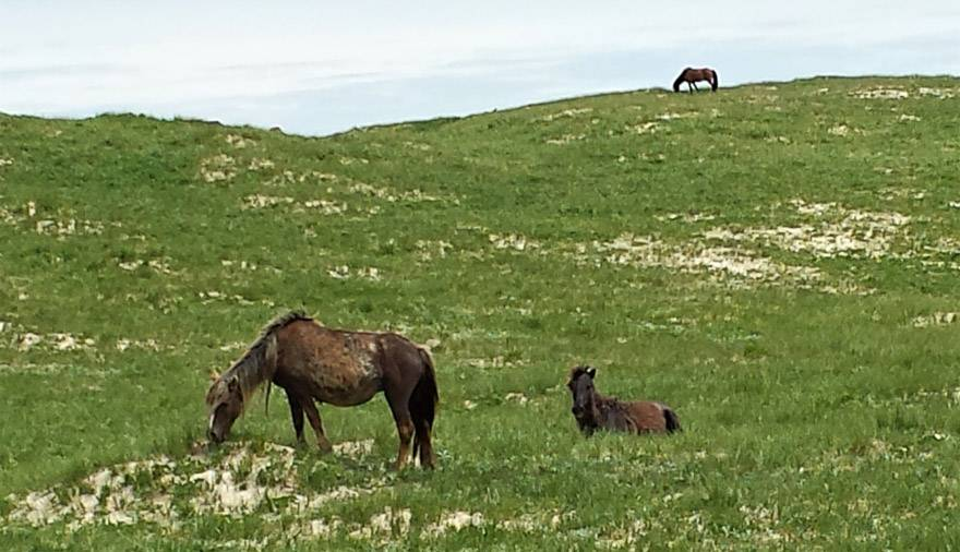 The fabled wild horses of Sable Island graze—while ignoring the humans. Visitation is restricted. Photo credit: Marlis Butcher