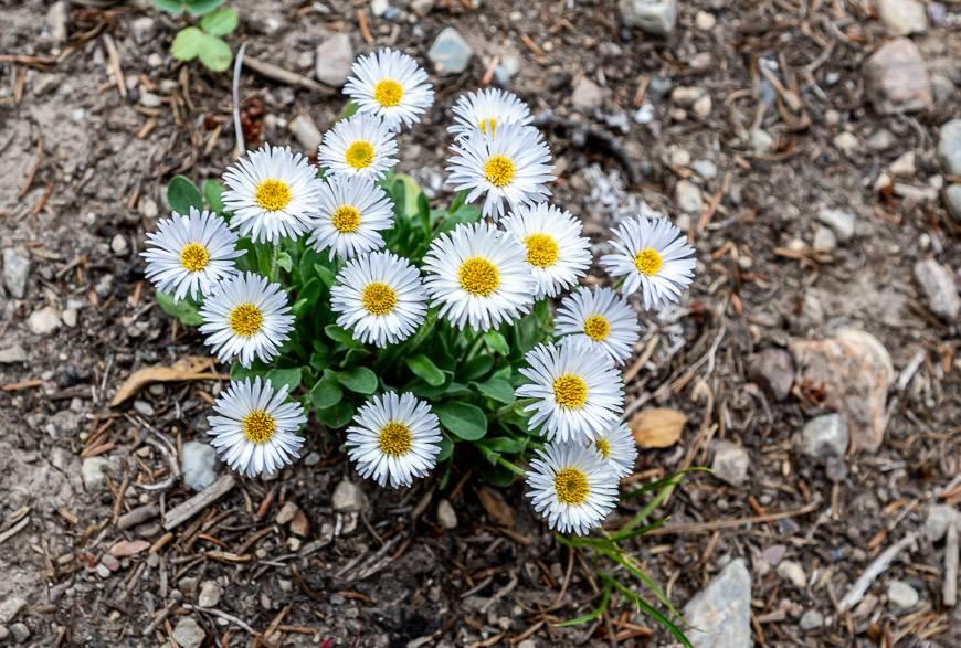 Fleabane - a member of the daisy family