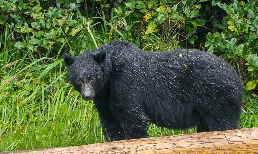 ive black bears we saw one afternoon